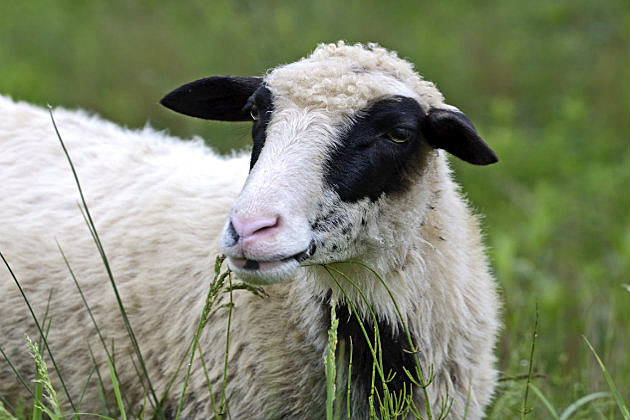 Sheep-Thinkstock